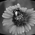 Pollen Collector Bw by Maria Urso
