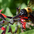 Pollen Covered Bee by MHmarkhanlon