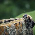Pollen Dusted Bee by Amanda Wimsatt