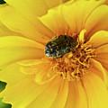Pollen Feeding Beetle by Douglas Barnett