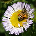 Pollen Harvest by Ellen Henneke