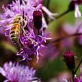Pollen Powdered Bee by Robert Wilder Jr