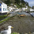 Polperro Harbour Cornwall And Seagull by Richard Brookes