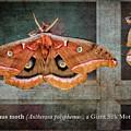 Polyphemus Moth by Belinda Greb