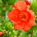Pomegranate Flowers by Augusta Stylianou