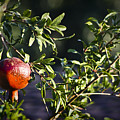 Pomegranate by Teresa Mucha