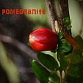 Pomegranite Art II by Mary Bellew