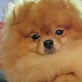 Pomeranian Dog  by Amir Paz
