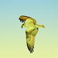 Ponce Osprey 4 by Deborah Benoit
