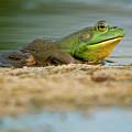 Pond Frog 2 by Michael Cummings