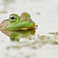 Pond Frog 4 by Michael Cummings