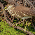 Pond Heron With Fish  by Manjot Singh Sachdeva