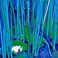 Pond Lily 6 by Pamela Cooper