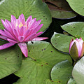 Pond Lily And Bud by Timothy Flanigan