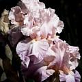 Pond Lily Iris  by John Trax