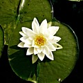 Pond Lily by 'REA' Gallery