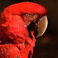 Pondering Parrot by Pamela Kerti