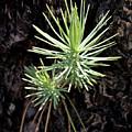 Ponderosa Pine 3 by Kelley King