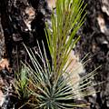 Ponderosa Pine 9 by Kelley King