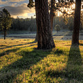 Ponderosa Pine Meadow by Leland D Howard