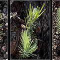Ponderosa Pine Wide by Kelley King