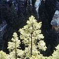 Ponderosa Pines by Steve Somerville