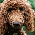 Poodle Pup by Jennifer Ancker