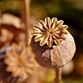 Poopy Seed Pod... by Werner Lehmann