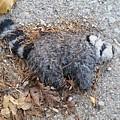 Poor Trash Panda by Zac AlleyWalker Lowing