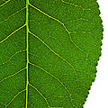 Poplar Leaf A Key To Biofuels by Science Source