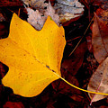 Poplar Leaf by Don Whipple
