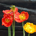 Poppies 17-01 by Maria Urso