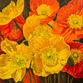 Iceland Poppies 2 by Fiona Craig