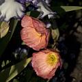 Poppies 6 by Sara Stevenson