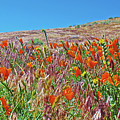 Poppies And Fiddleneck In Antelope Valley Ca Poppy Reserve by Ruth Hager