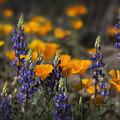 Poppies And Lupines  by Saija Lehtonen