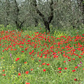 Poppies And Olives by Jenni Alexander