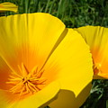 Poppies Art Poppy Flowers 4 Golden Orange California Poppies by Baslee Troutman