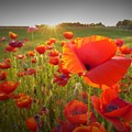 Poppies At Sunset by Matt Taylor