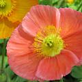 Poppies by Dawn Gari