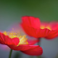 Poppies Edges by Mike Reid
