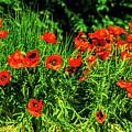 Poppies Flowerbed by Olga Olay