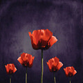Poppies Fun 01b by Variance Collections