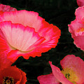 Poppies Galore by Jean Noren