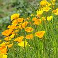 Poppies Hillside Meadow Landscape 19 Poppy Flowers Art Prints Baslee Troutman by Baslee Troutman