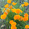Poppies II by Randall Ingalls