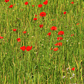 Poppies In A Wheat Field by Bob Phillips
