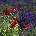 Poppies In Lavender by Gary W Baird