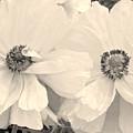 Poppies In Monochrome by Jeannie Rhode