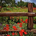 Poppies In The Texas Hill Country by Lynn Bauer